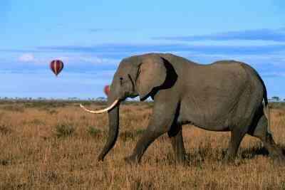 Cómo Hacer una Colmillos de Elefante