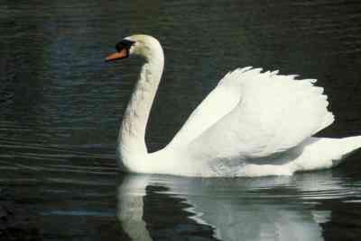 Cómo Hacer un Cisne de Papel Maché de Aves