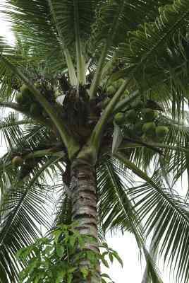 Cómo Hacer una alfombra de Uso de Hojas de Coco