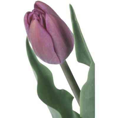 Cómo Hacer Fondant de Tulipanes