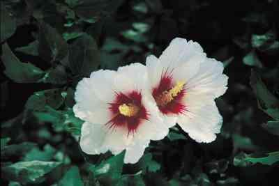 Hibiscus Artesanías