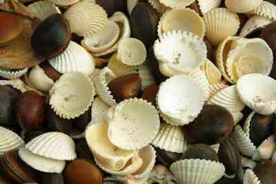 Cómo Etch Conchas de mar