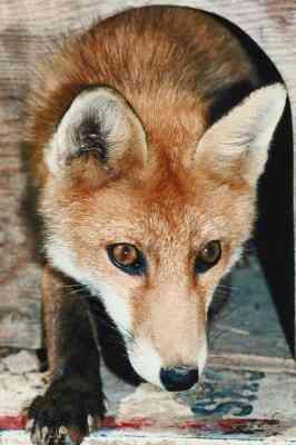 Cómo Hacer una Arcilla Fox