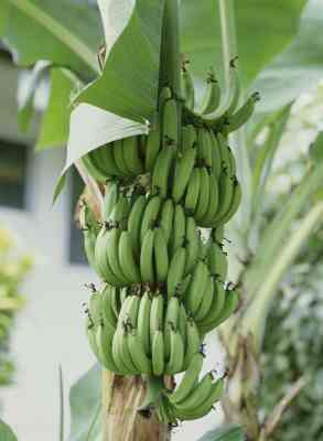 Usos de los Tallos de Plátano