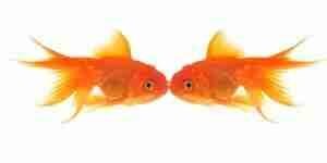 Cuidado de peces de colores - tanques de los acuarios, de filtros y de los alimentos