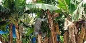 Cultivar y cuidar los árboles de plátano