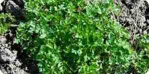 De cultivo y de cosecha de cilantro