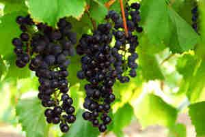 Crecen las uvas: la elección de las variedades, la vid, la poda, el enrejado