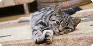 Limpieza gato vomita fuera de alfombras: alfombra consejos de limpieza