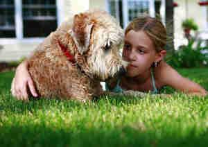 wheaton terrier