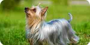 Cuidado para silky terrier