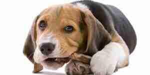 Elegir los huesos de perro: el perro mastica