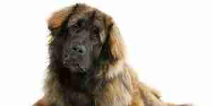 El tratamiento de la displasia de cadera canina