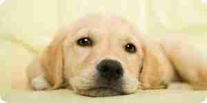 El tratamiento de la sarna canina