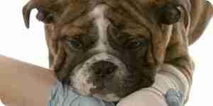 El tratamiento de osteosarcoma canino