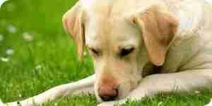 El tratamiento de caninos gusanos