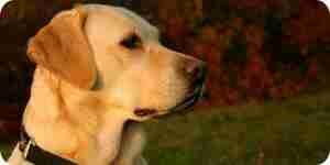 Perro labrador amarillo: perro de entrenamiento, la nutrición y el cuidado de las mascotas