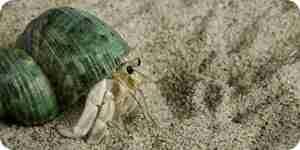 Crear un cangrejo ermitaño hábitat: suministros, conchas, el acuario y la comida