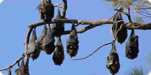 Atrapar un murciélago de la fruta