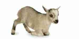El cuidado de las cabras pigmeas