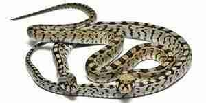 Hacer trampas de la serpiente