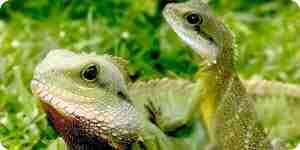 Cuidar de las iguanas: iguana consejos para el cuidado de
