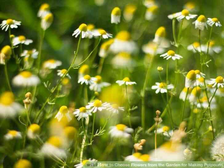Imagen titulada de Elegir las Flores del Jardín para Hacer Popurrí Paso 2Bullet1