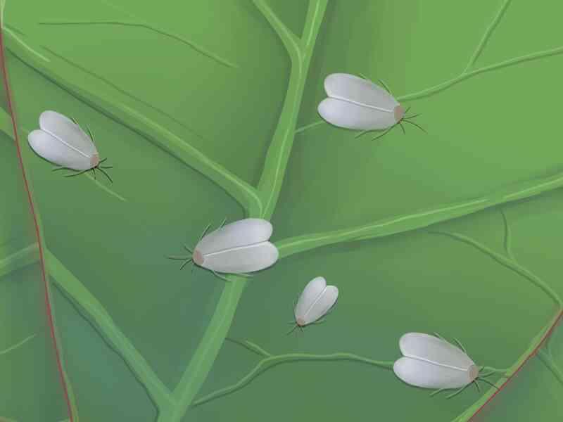 Cómo cuidar de una Gardenia