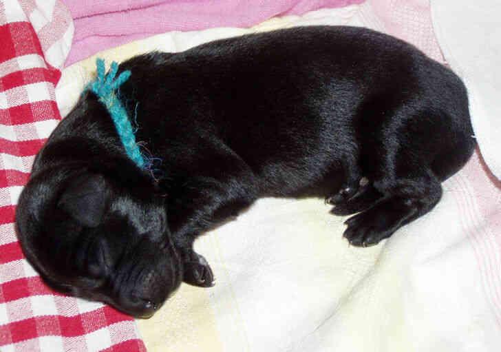 Imagen titulada Newborn_puppy.JPG